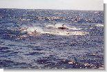 5258_dolphins.jpg (64.64 Kb)